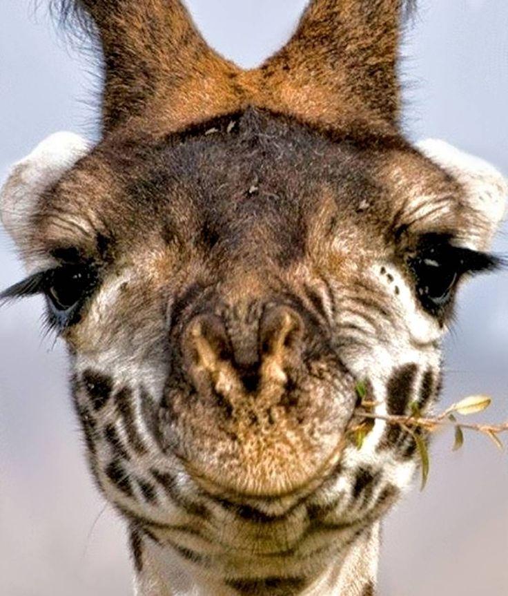 """""""Estar calmo é a maior realização do eu."""" - Provérbio zen  Dóceis e tranquilas as girafas ocupam o imaginário popular como o exemplo de seres observadores e visionários.  Na Tanzânia se tornaram o símbolo nacional pois segundo crêem são capazes de enxergar o futuro e o passado.  No antigo Egito a própria palavra """"profetizar"""" ou """"predizer"""" era representada por uma girafa."""