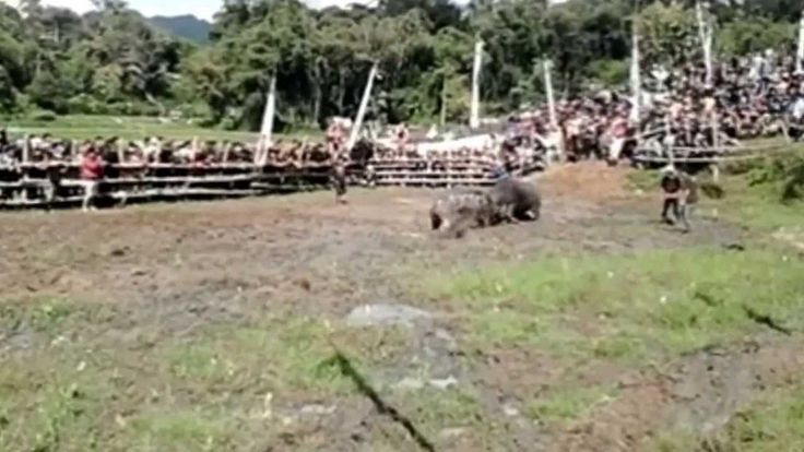 Buffalo Vs Buffalo Fighting (Adu Kerbau Mapasilaga Tedong) HD