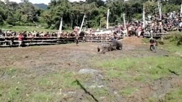 Buffalo Vs Buffalo Fighting (Adu Kerbau Mapasilaga Tedong) HD