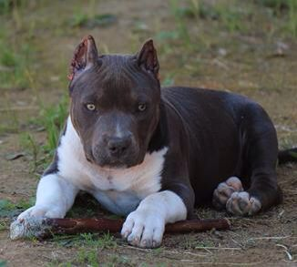Pit bull absolutely beautiful coloring.. and pretty eyes