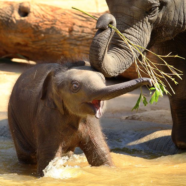 A baby elephant explores its environment at Melbourne Zoo, Australia  Picture: Mark Stewart/Newspix / Rex Features
