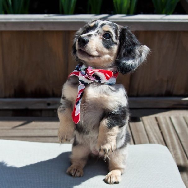 My Dachshund Puppy Feeling Confident In Her Scarf And Fur Coat