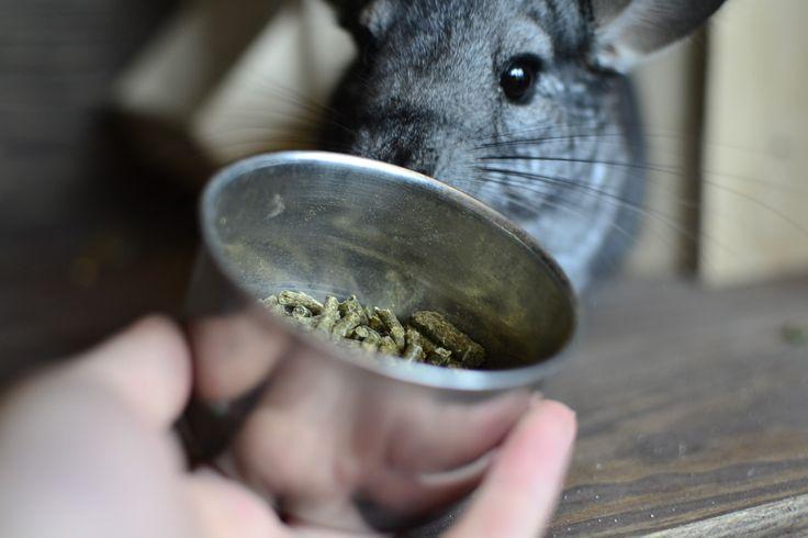 Grainless chinchilla food. Jedzenie dla szynszyli - bezzbożowa karma. #szynszyle #uszynszyla #chinchillas #food #rodent #verselelaga