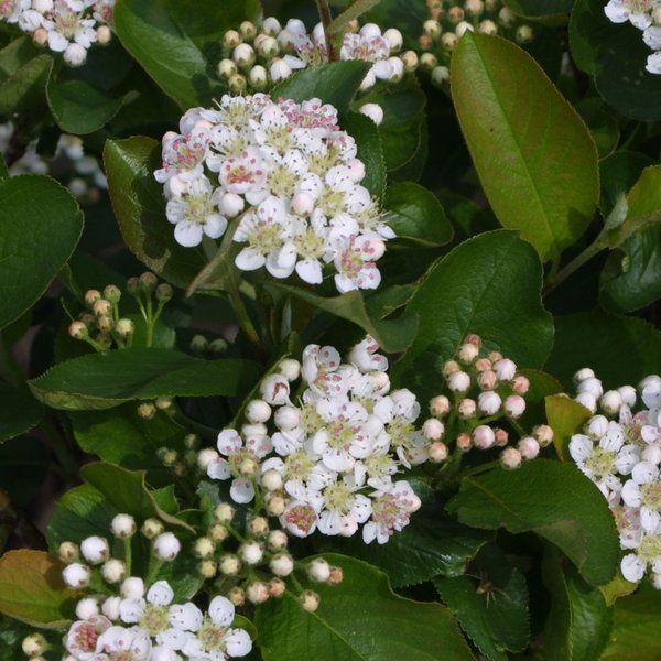 Aronia prunifolia 'Viking' - Maréchal