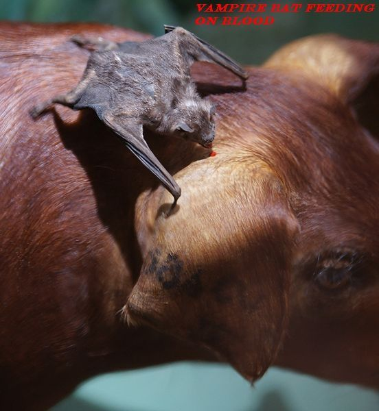 """Only three species of those whopping twelve hundred species of the bats are what can be called the """"Vampires or Vampire Bats"""". The denomination """"Vampire"""" itself provokes a feeling of terror in our subtle human mind ..read full at adidarwinian"""