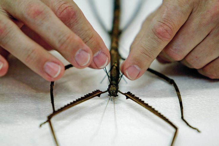 Harrell House Bug Museum just got a new resident — a 23-inch-plus walking stick insect from Borneo that Greer says is the second largest of its kind in the world.