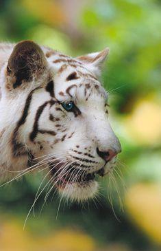 ZooParc de #Beauval - Le #tigreblanc. #zoo #zoobeauval #fauve #destinationbeauval #saintaignan
