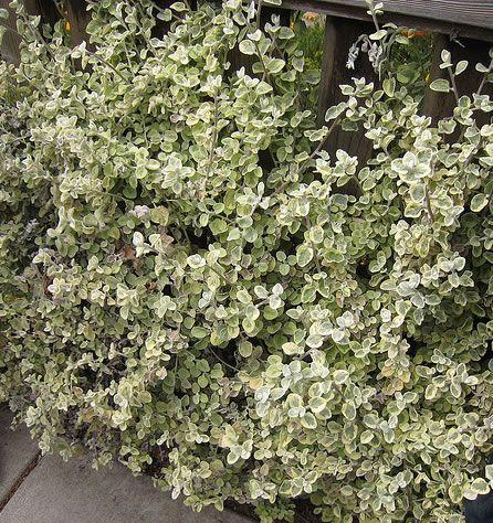 25 melhores imagens de arbustos decorativos no pinterest for Arbustos decorativos