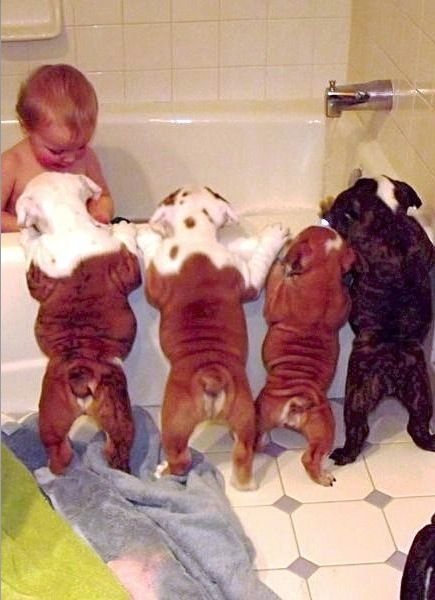 Curious Puppies During Baby Bath Time - Cutest Picture Ever Baby Bulldogs & Baby  ---- best hilarious jokes funny pictures walmart humor fail
