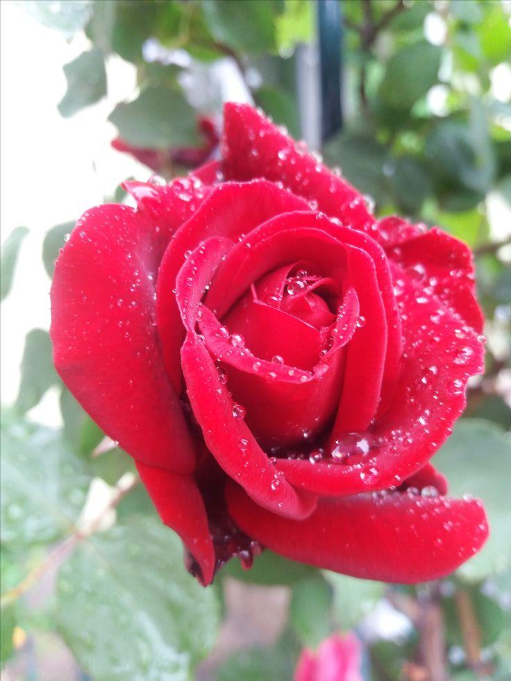 Vörös rózsa eső után/Red  Rose after rain