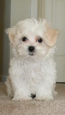 shih tzu maltese poodle mix i saw petted a gorgeous shih tzu maltese cross dog 7573