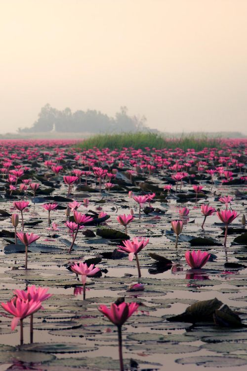 Sea of Red Lotus in Udon Thani, Thailand  (by Giant Rabbit on 500px)