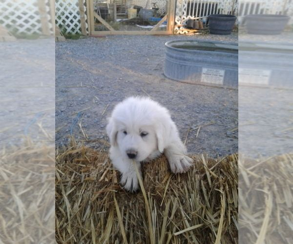 Litter Of 4 Great Pyrenees Puppies For Sale In Pahrump Nv Adn 129188 On Puppyfinder Com Gender Male Ag Puppies For Sale Great Pyrenees Great Pyrenees Puppy