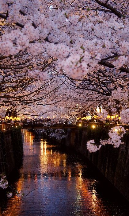 Paris + cherry blossoms. stunning.