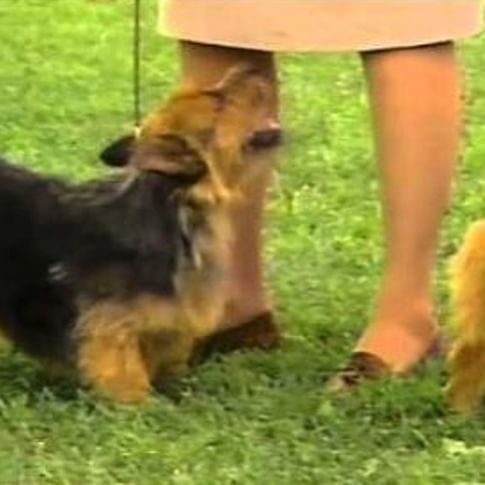 The Norwich Terrier Is A Fearless Happy Little Dog With An Outgoing Nature Devoted To Home The Norwich Terrier Is A Norwich Terrier Akc Dog Breeds Terrier