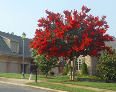 Bright Red Blooms last up to 4 months  -  	* Developed to produce the brightest red blooms in existence  	* Pest and disease resistant  	* Highly drought tolerant  	 	Spectacular blooms last from spring until fall!  	 	One of the hardiest Crape Myrtles available. Resists mildew, disease and insects.  	 	Some of the brightest...
