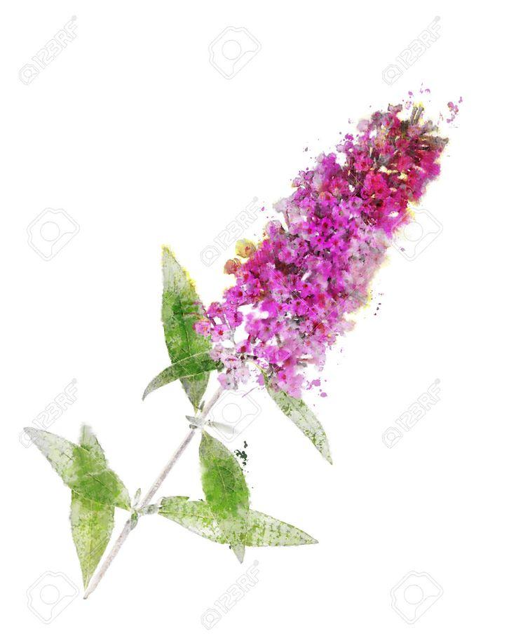 Aquarelle numérique de la branche Buddleja (Papillon Bush)