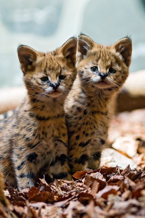 Two cute serval babies by Tambako The Jaguar