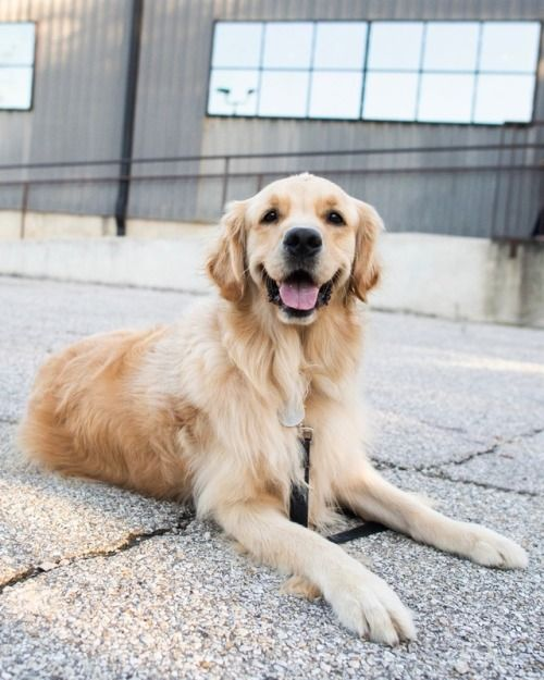 Simcoe Golden Retriever 3 Y O The Abgb Austin Tx We Call The Tufted Hair On His Head His Walnut It S H Golden Retriever Dog Control Retriever Puppy