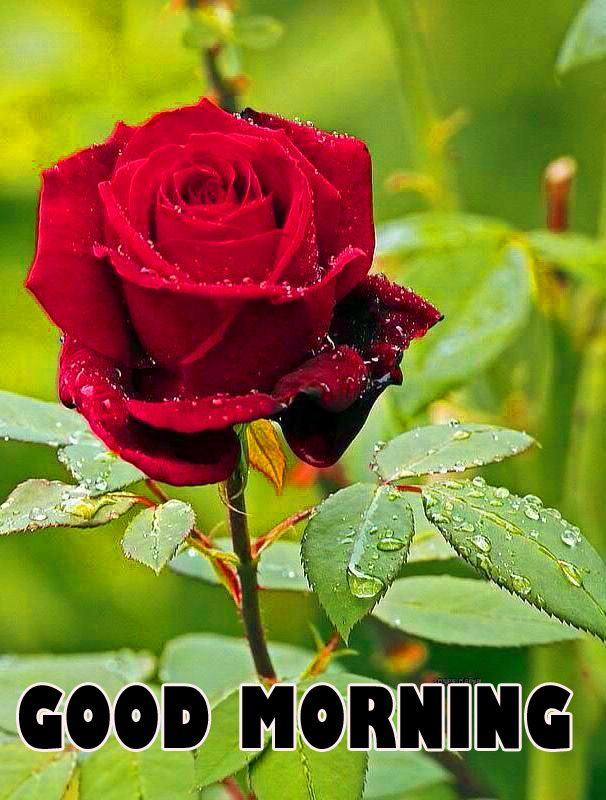 Good Morning Wishes Images With Red Rose Wallpaper Pics Download Beautiful Rose Flowers Beautiful Flowers Wallpapers Beautiful Flowers