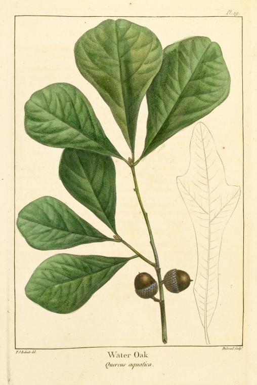 """Water oak, Quercus nigra, is in the red oak group. Medium-sized, growing to 100' tall & up to 3' diameter. Adapted to wet, swampy areas, but tolerates most soils. Leaves are 1–5"""" long & 0.5–2"""" broad, variable in shape, most commonly shaped like a spatula being broad & rounded at the top & narrow & wedged at the base. Acorns are single or in pairs, 0.3-0.5"""" long & broad, with a shallow cup; heavy crops mature in 18 mo., an  important wildlife food.  Occurs in all but the NW corner of…"""