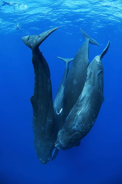 Four sperm whales hanging head down in the water, engaged in social interaction. Check out the diver's size in comparison to the whales - WOW!!