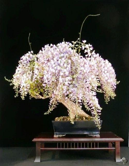 Wisteria Bonsai tree in full bloom