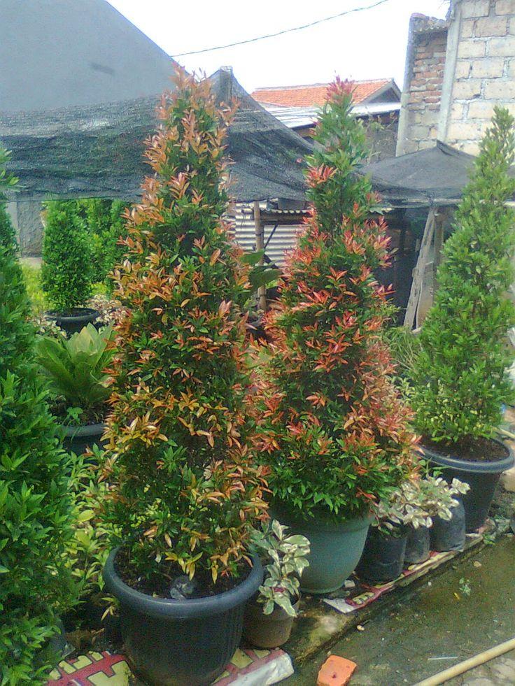 Tanaman Hias Dan Pohon Pelindung: POHON PUCUK MERAH
