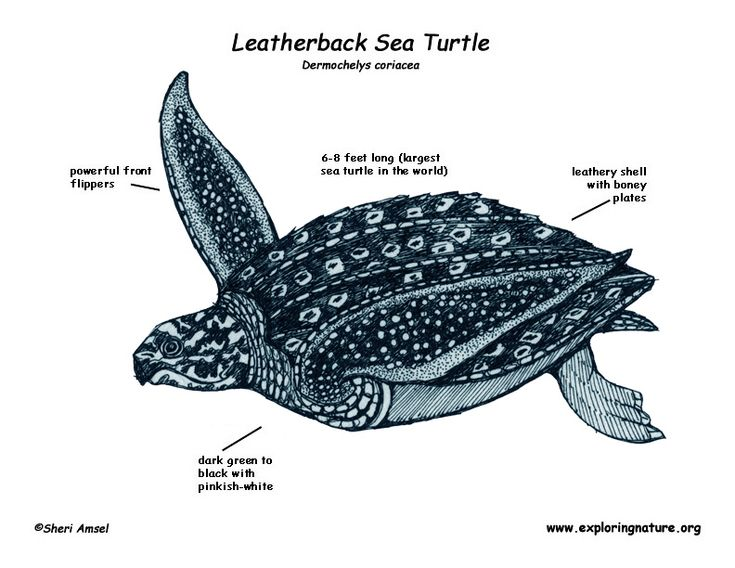 16 best images about Leatherback sea turtle on Pinterest ...