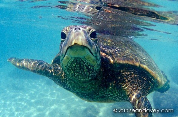 friendly Hawaiian sea turtle
