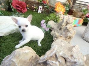 Cachorro chihuahua miniatura de Criadero Cantillana. Visita nuestra web www.criaderocantillana.com