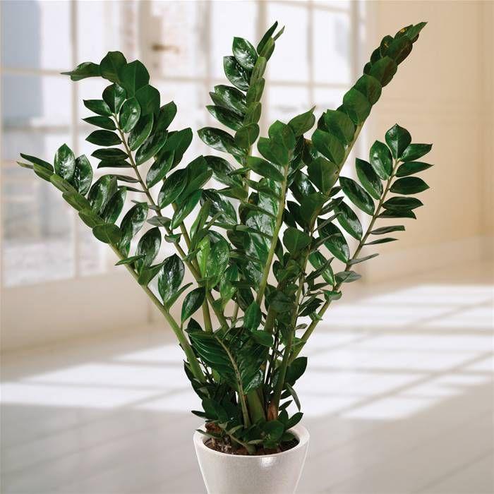 Zamioculcas zamiifolia – rastlina peňazí a šťastia. Podľa Feng Sui by  mala  byť  rastlinka  umiestnená v  aktívnom poli. Vtedy prinesie domácnosti peniaze a šťastie. Vie narásť  do  výšky až  pol metra a na dlhých vretenách sa nesú lesklé, smaragdovo zelené listy. Potrebuje predovšetkým rozptýlené svetlo a dostatok vody. Zalievajte ju pravidelne raz za týždeň, častejšie však nie. V letnom období ju raz za štrnásť dní prihnojte tekutým hnojivom pre izbové rastliny. Na zimu je nutné zálievku…