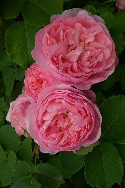 1955 best images about rosen englische rosen david austin co on pinterest garden roses. Black Bedroom Furniture Sets. Home Design Ideas