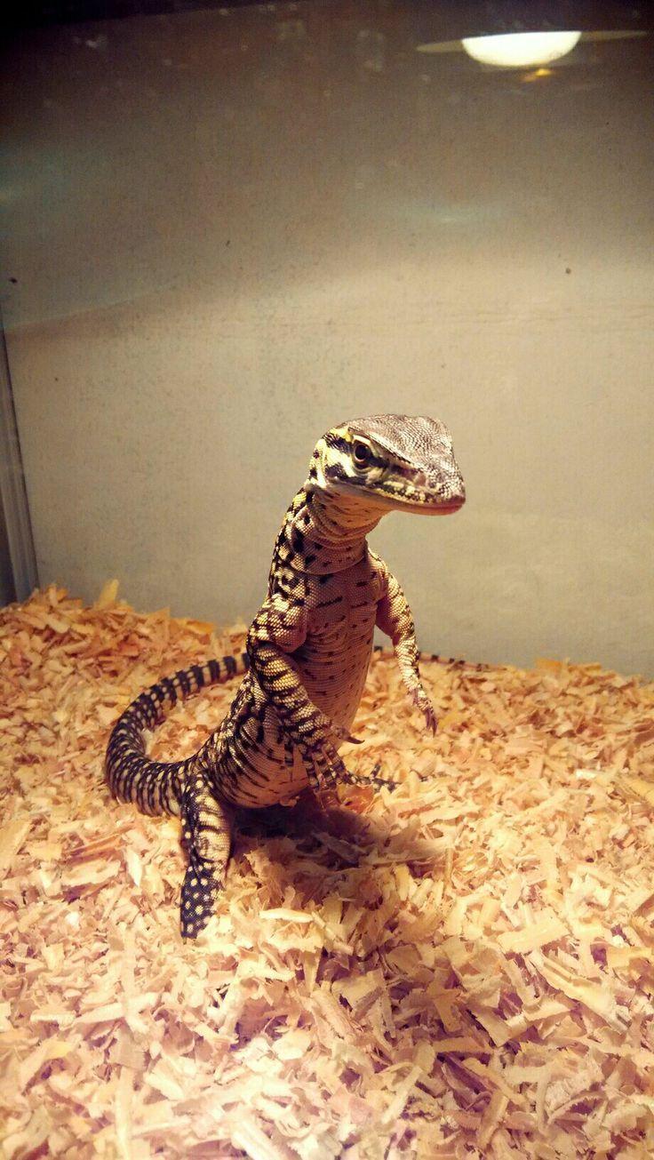 Tripod Argus Monitor Varanus Panoptes Horni Argus Horni Monitor Panoptes Tripod Varanus Pet Lizards Cute Reptiles Reptiles Pet