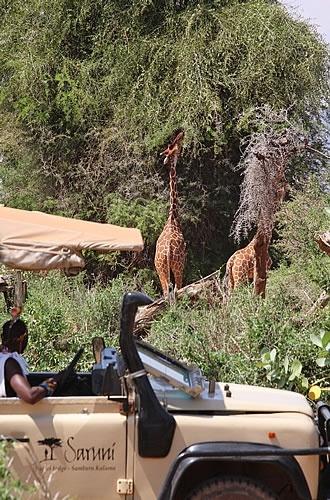 Our Wildlife at Saruni Samburu - Two Reticulated Giraffe reaching for green leaves.