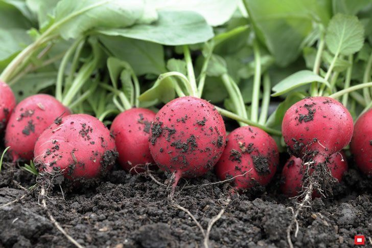 Выращиваем суперранний редис белорусским способом | Твоя Дача | Яндекс Дзен