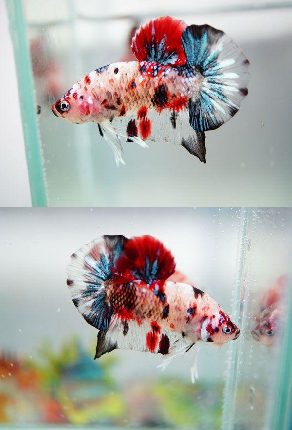 Fwbettashmp1429372704 fancy koi koi bettas for Fancy koi fish