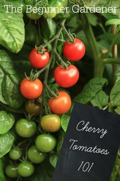 Growing cherry tomatoes is the best way for newbies to ease into gardening.