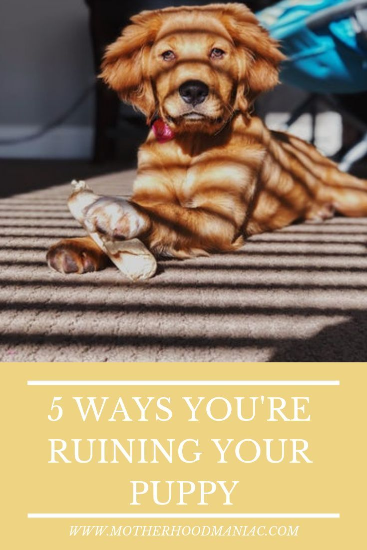5 Ways You Are Ruining Your Puppy Puppies Training Your Puppy Dog Behavior