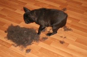 Do French Bulldogs shed? This photo show hair from one French Bulldog!