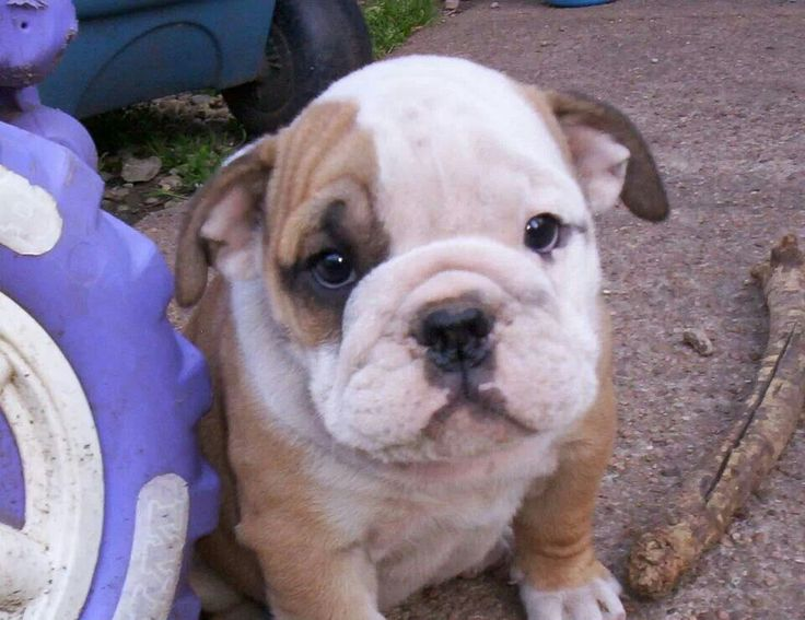 5d03db65db570004cae64ec2ce302fed pet puppy bulldog puppies 18 best english bulldogs!! images on pinterest english bulldogs Old Fuse Box Parts at aneh.co