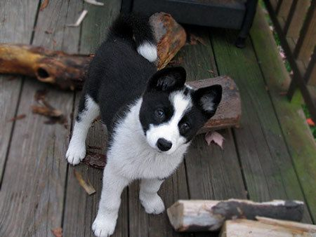 Karelian Bear Dog puppy. Reminds me so much of the dog I had.