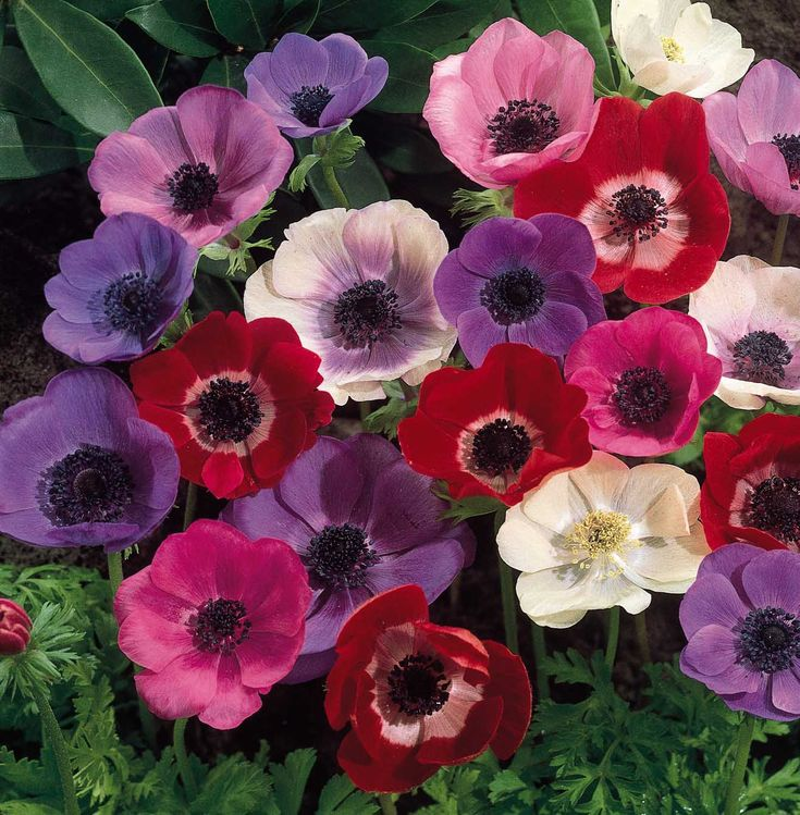 I love the Anemone flower. They look unique and come in such gorgeous jewel tones! Check out bouquets with just black and white ones...beautiful!
