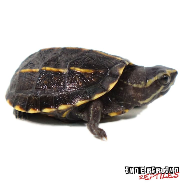 Three Striped Mud Turtle For Sale