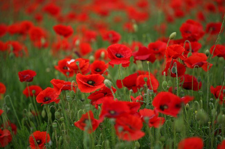 трава, красные, маки, стебли, цветы, поле, тепло, лето, зеленая, макро, лепестки