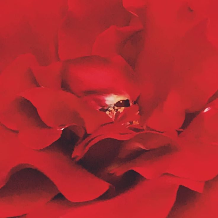 Today is day 3 on my 7-Day photo challenge. I was nominated by Denise Lee Gray  to take pictures of nature that I have taken myself and flood Facebook with beautiful images. I invite Becky Watson  to join me.  #nature #mrlincolnrose #roses #red #iphoneography #iphonephotography