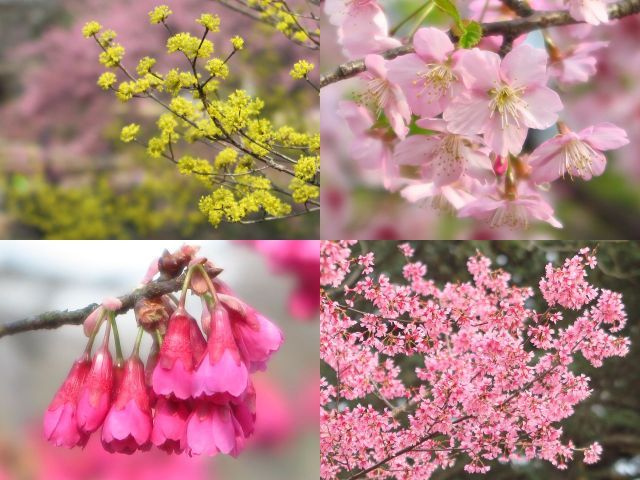 左上は、修善寺寒桜をバックに 咲くサンシュユです。苑内では梅もきれいに咲いていました。左下は寒緋桜、右下はオカメです