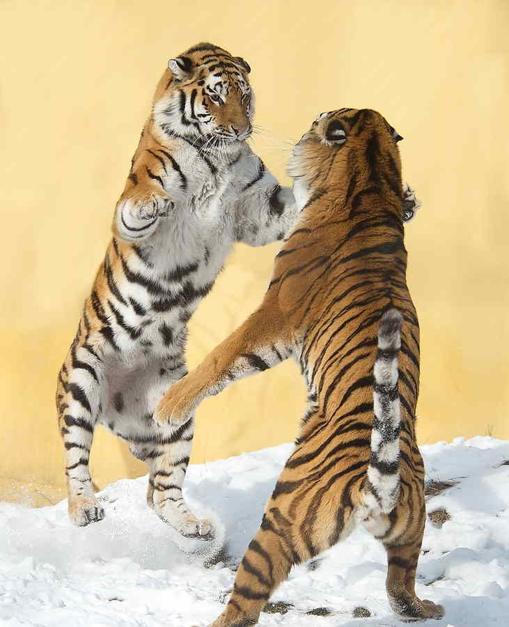 Siberian-tigers dancing-paw-to-paw-1