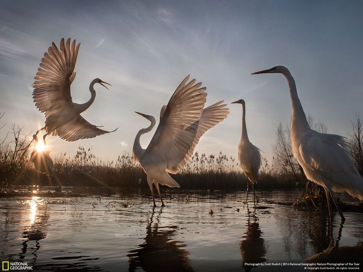 Changing Fortunes of the Great Egret // Photo and caption by Zsolt Kudich