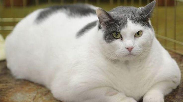 Dieta para gatos obesos, ¿cómo debe ser?